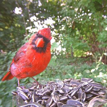 The Cardinals are another bird that does not mind this larger seed. I noticed a spot far back by a