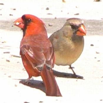 Wild Birds Unlimited: Male and female cardinals remain in close contact year-rou... -  Wild Birds U