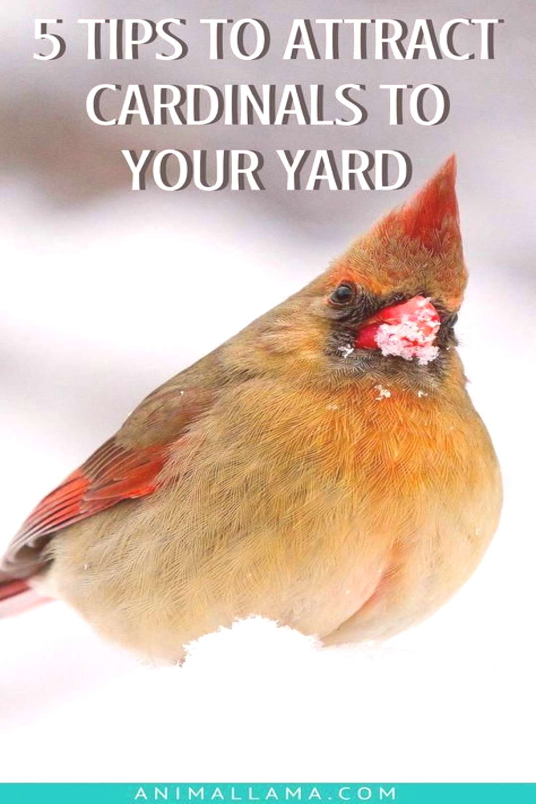 For the Home How to Attract Cardinals to Your Yard 5 Things Youll Need   Animallama